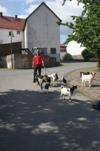 tierrische Begegnung auf Frankenaus Straßen